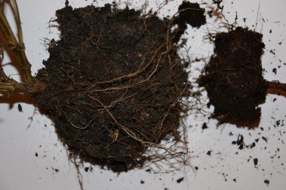 Rozdíl mezi oběma kořenovými baly je patrný. Menší bal pochází z rostliny pěstované v truhlíku se substrátem pro balkónové rostliny.