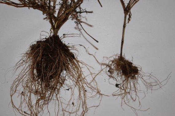 Rostlina s méně rozvinutým kořenovým systémem pochází z truhlíku se substrátem pro balkónové rostliny obohaceným pevným uhlíkem,.